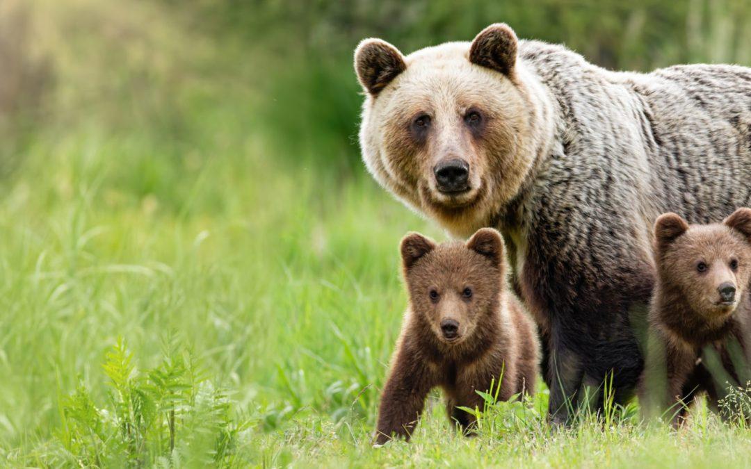 Medvedje ustvarjanje